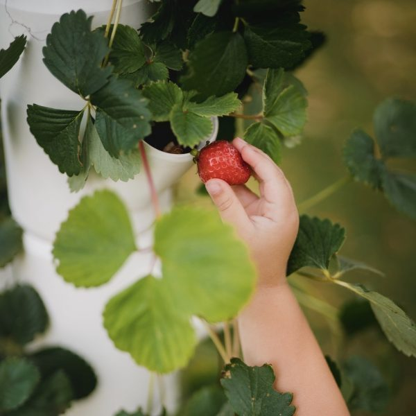 SISSI STRAWBERRY hanging