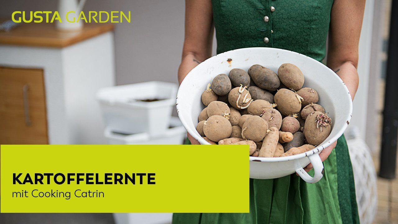 'Kartoffelernte