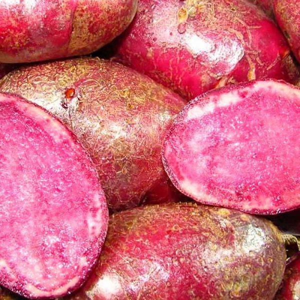 """Potato seedlings """"Highland Burgundy-Red"""""""