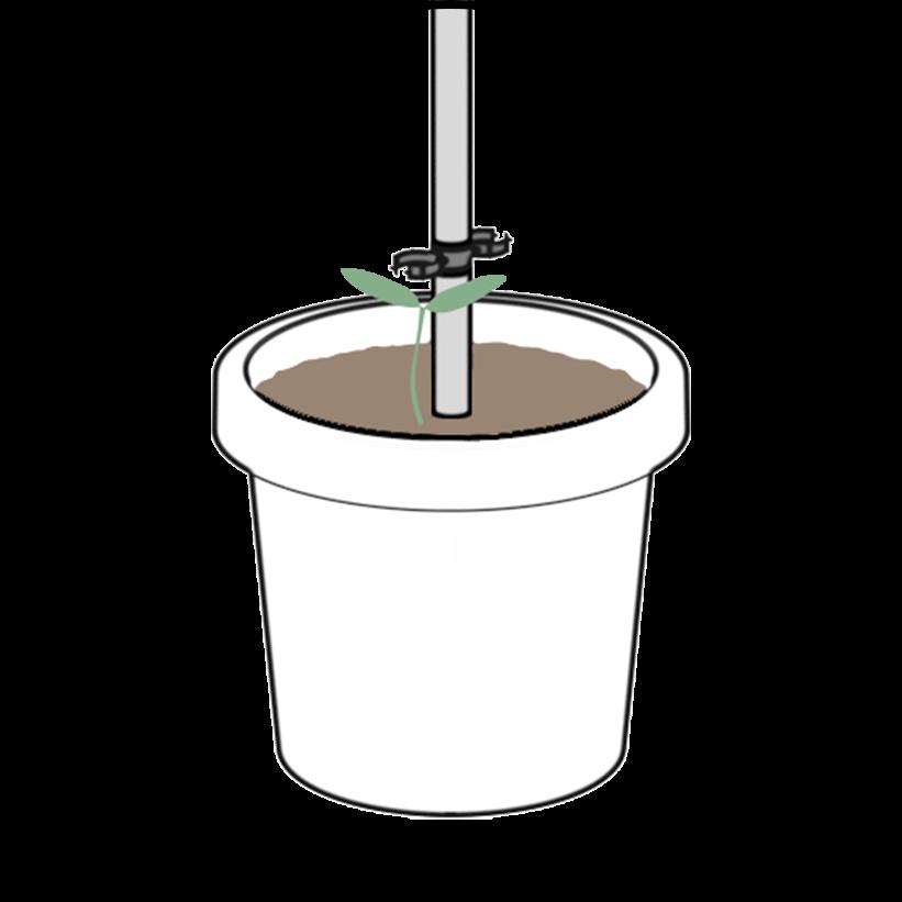 TOMATO-BUDDY-Growing2