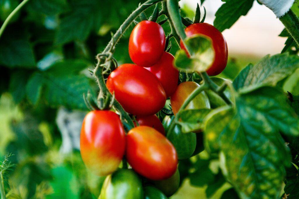 tomatoes-4615112
